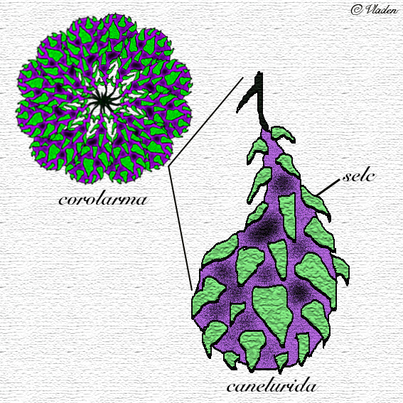 corolarma